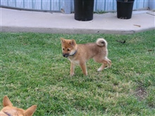 Akai Inu & Kumi Inu, Simi Valley, California